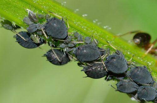 Pulgón negro de las habas