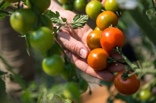 Guía del cultivo del tomate
