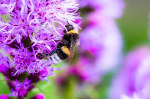 Abeja recolectado néctar en liatris spicata
