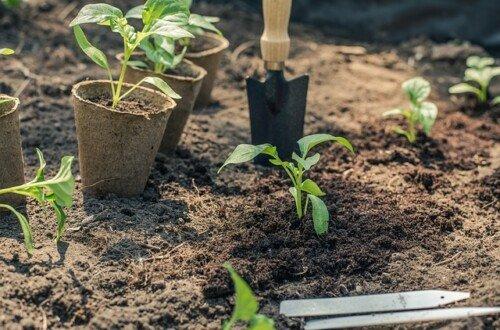 Trasplante y repicado en el huerto ecologico