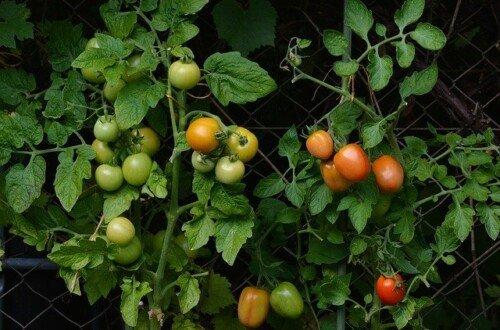 plagas y enfermedades tomate
